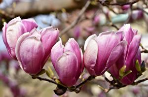 Картинки Вблизи Магнолия Розовый Ветвь Лепестки Цветы
