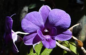 Фотография Крупным планом Орхидеи Фиолетовый Dendrobium Цветы