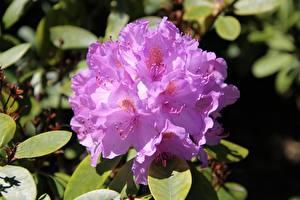 Картинка Крупным планом Рододендрон Розовая цветок