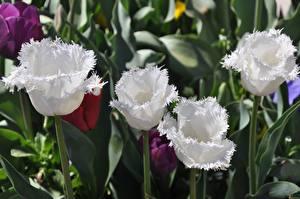 Фото Вблизи Тюльпаны Белая Цветы