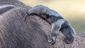 Фото Детеныши Муравьед Лапы Спина животное