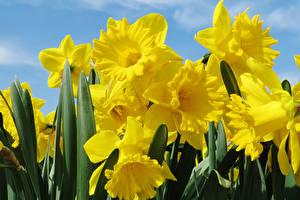 Фотография Нарциссы Крупным планом Желтая Цветы