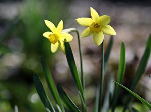 Картинка Нарциссы 2 Желтая Цветы