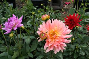 Обои Георгины Вблизи Бутон Цветы