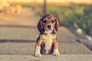 Фотографии Собака Бигль Щенок Лапы Животные