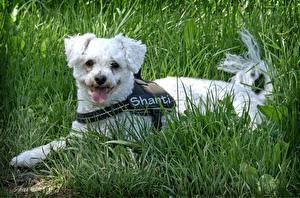 Фото Собака Траве Лежит Язык (анатомия) Bichon Frise Животные
