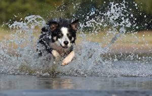 Фото Собака Бордер-колли Бег Брызги Животные