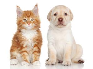 Обои для рабочего стола Собаки Кот Мейн-кун Белым фоном Две Щенок Котят Лабрадор-ретривер Животные