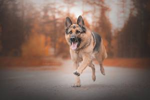 Фотографии Собака Немецкая овчарка Бежит Язык (анатомия) животное
