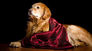 Картинки Собаки Золотистый ретривер На черном фоне