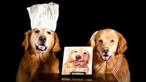 Картинки Собака Золотистый ретривер Черный фон Ретривера животное