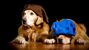 Картинки Собака Золотистый ретривер Ретривер Две Шапки На черном фоне Животные