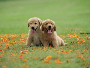 Фото Собака Голден Две Траве Щенок Язык (анатомия) животное