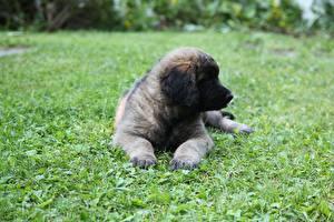 Фотография Собаки Траве Щенки Лапы Leonberger животное