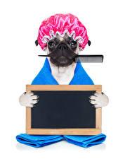 Картинка Собака Белый фон Бульдог В шапке Смешная животное