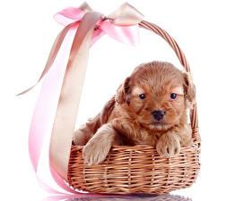 Картинка Собаки Белый фон Корзина Щенков Бант Лапы животное