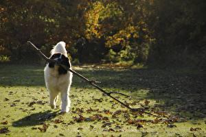 Фотографии Собаки Траве Листья Ветвь landseer