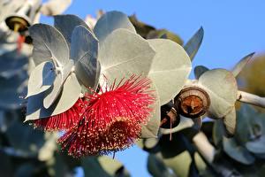 Обои Листва Красных Eucalyptus Цветы