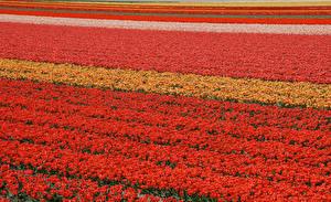 Фотографии Поля Тюльпаны Много Нидерланды Lisse цветок