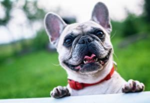 Фотографии Французский бульдог Собака Крупным планом Лапы Голова Взгляд Морда