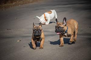 Фото Французский бульдог Собаки Трое 3 Смешной Животные
