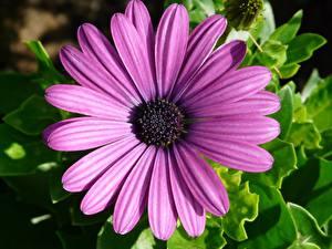Фото Герберы Вблизи Лепестков Фиолетовые Цветы