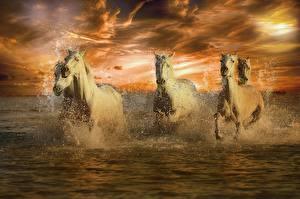 Фото Лошади Вода Белый Бег Брызги Животные