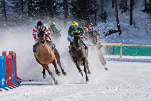 Фотографии Лошадь Зимние Снеге Бегущая international White Turf horse racing спортивный