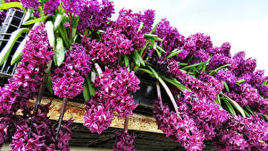 Фотографии Гиацинты Фиолетовая Цветы