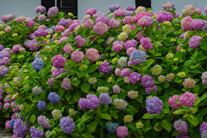 Фотографии Гортензия Разноцветные Цветы