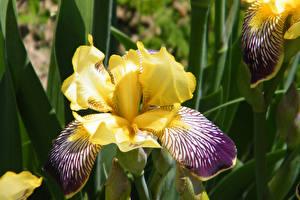 Фото Ирисы Вблизи Желтая Цветы