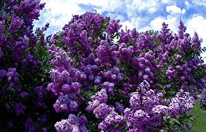 Фото Сирень Фиолетовая Цветы