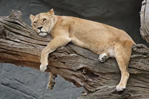 Картинки Львы Львица Лежачие Смотрят Лапы