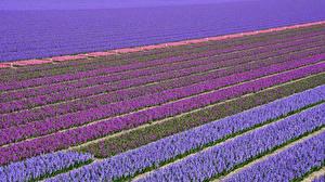 Картинки Нидерланды Поля Гиацинты Много Разноцветные Lisse