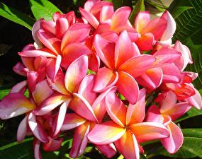 Картинки Плюмерия Вблизи Розовые Цветы