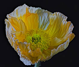 Картинка Маки Крупным планом Черный фон Желтый Цветы