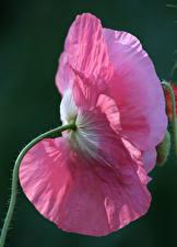 Фотография Маки Крупным планом Розовый Цветы
