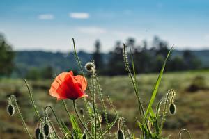 Картинка Маки Красная Бутон Цветы
