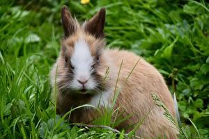 Фотографии Кролики Траве Смотрит Dwarf Rabbit Животные