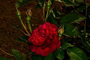 Фотография Роза Крупным планом Бутон Красные Цветы