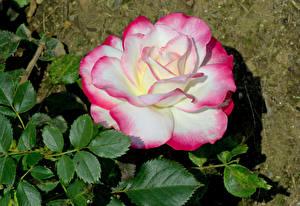 Фото Роза Крупным планом Листва цветок