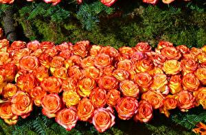 Картинка Розы Много Оранжевая Цветы
