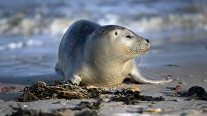 Фотография Тюлени Детеныши Крупным планом животное