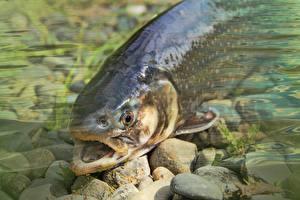 Картинки Камень Вблизи Рыбы Trout Животные