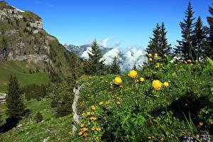 Картинка Швейцария Гора Лютик Альпы Ели Nidwalden Природа