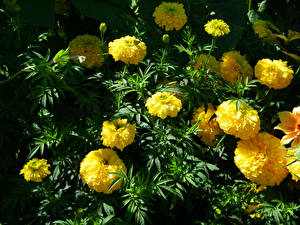 Фото Бархатцы Крупным планом Желтый Цветы