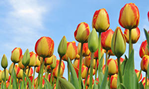 Фото Тюльпаны Крупным планом Цветы