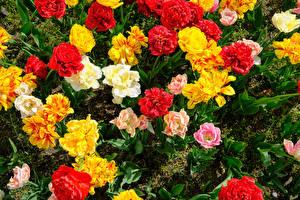 Картинка Тюльпан Вблизи Разноцветные Цветы