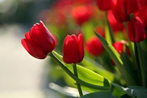 Картинки Тюльпаны Крупным планом Красных Цветы