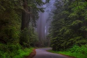 Картинка Штаты Лес Дороги Калифорния Дерево Тумане Redwood national Park, Sherwood Forest Природа